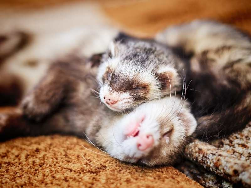 Air Purifier For Ferrets: A Complete Guide to All the Benefits and Uses